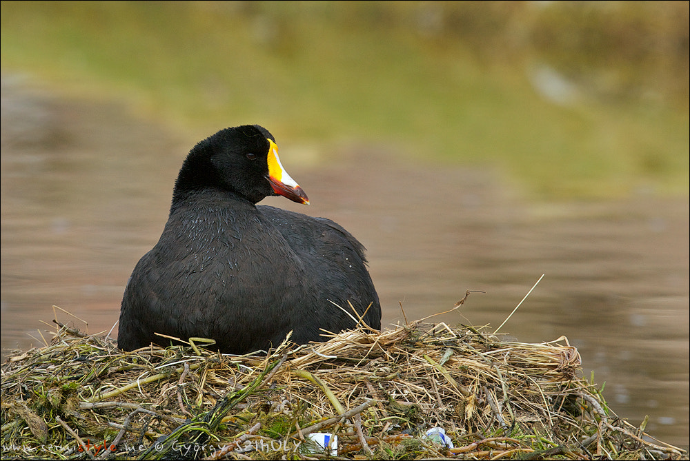 Photograph Giant Coot (Fulica gigantea) by Gyorgy Szimuly on 500px