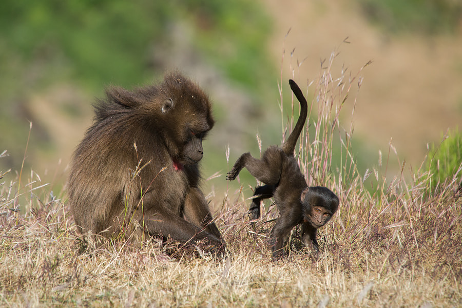 Playful baby baboon by Stefan Cruysberghs on 500px.com