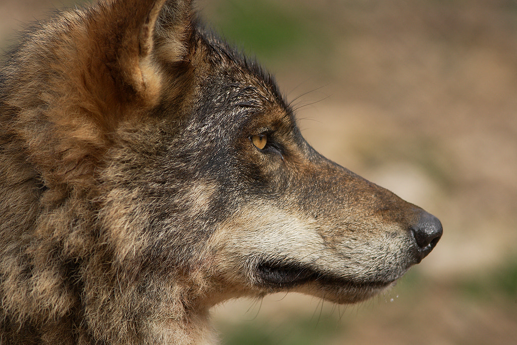 Photograph Wolf (Canis lupus signatus) by José Nieto Martín on 500px