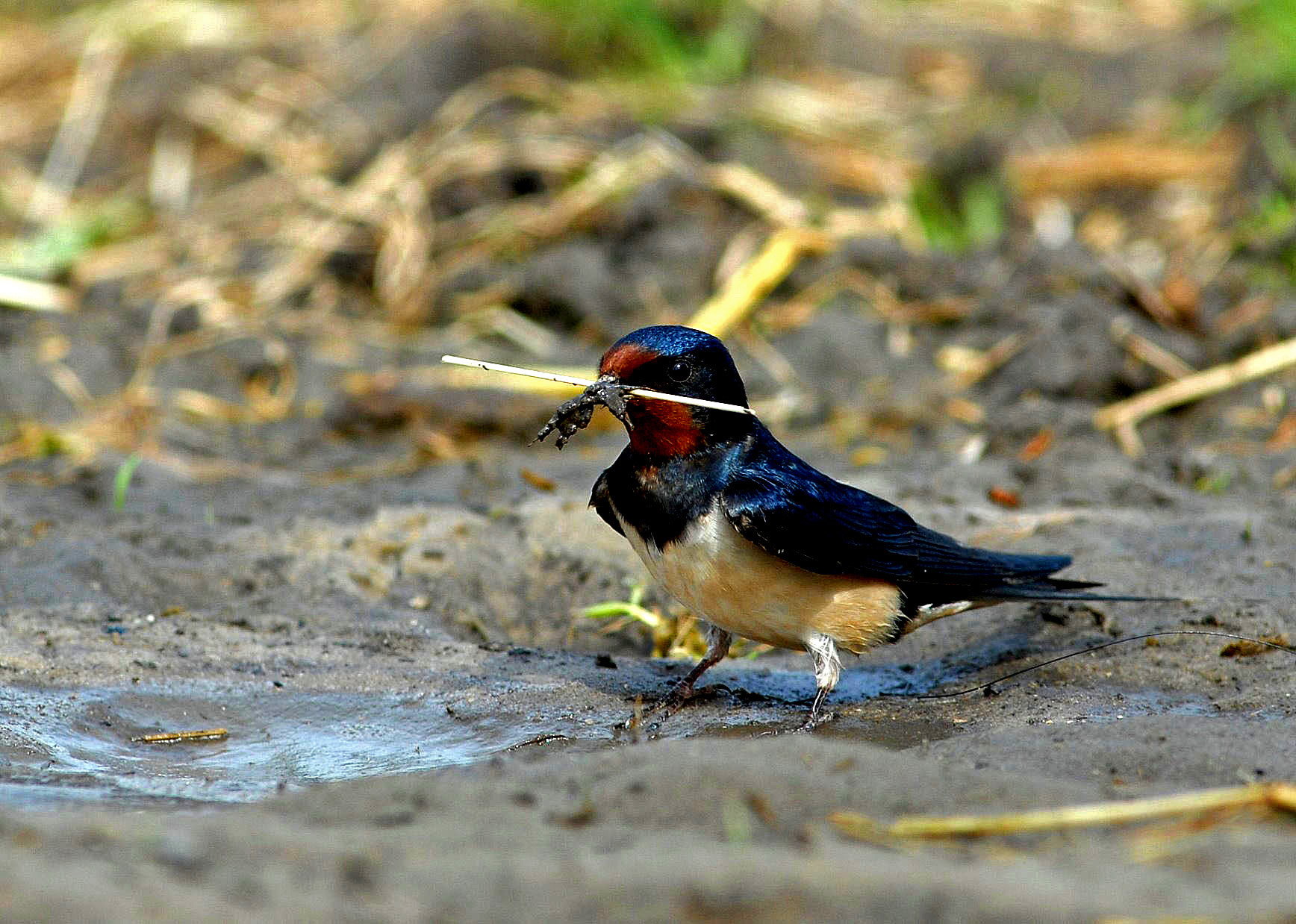 Photograph Barn Swallow by Joost Schamp on 500px