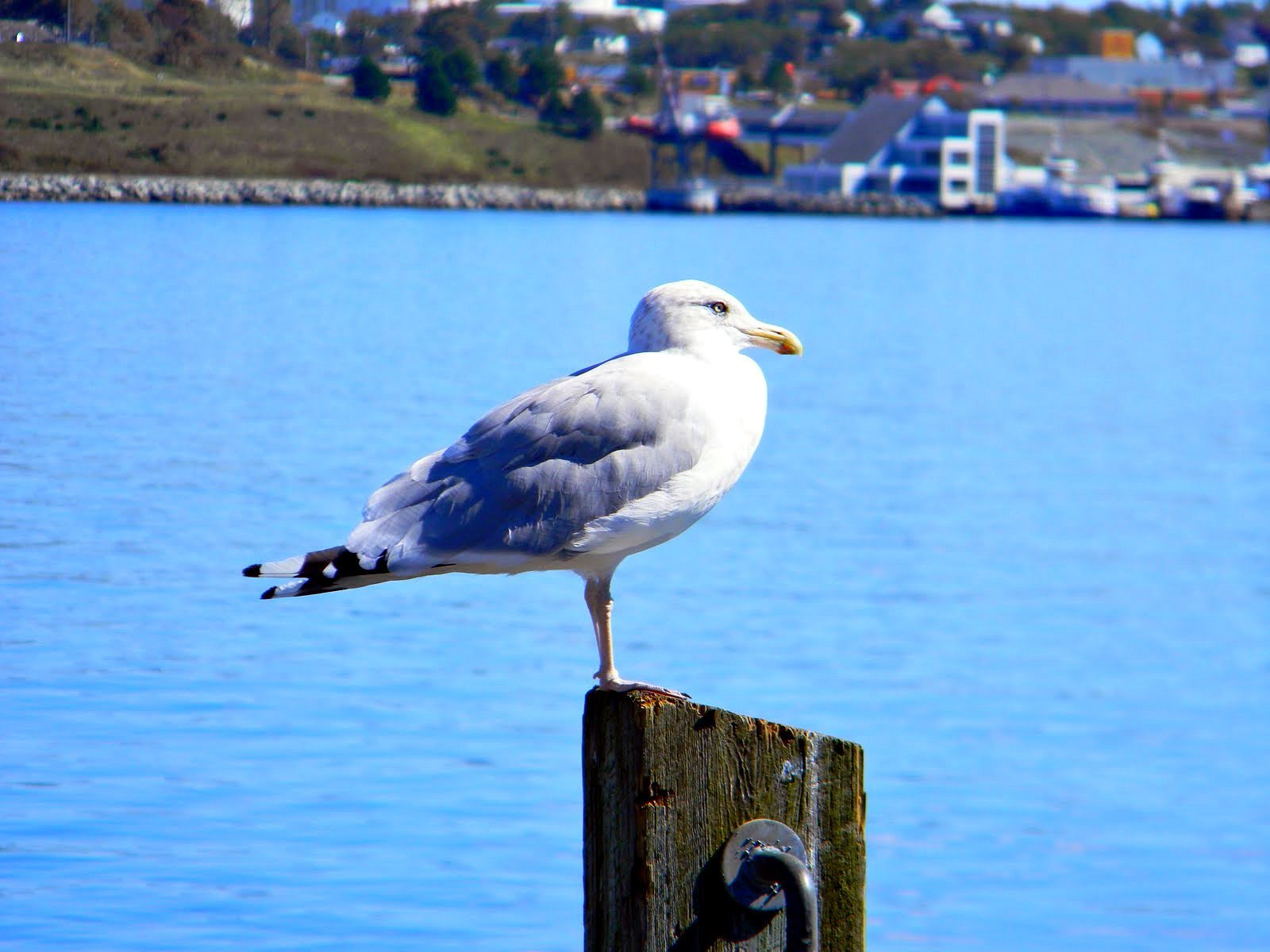 Photograph Seagull at the Docks by Victor Alves on 500px