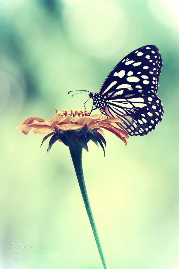 Photograph Butterfly by 23dots on 500px