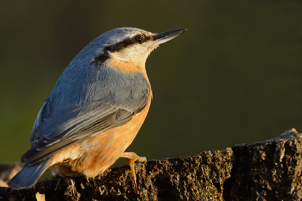 Photograph Kleiber,Eurasian Nuthatch, by Wolfgang von Vietinghoff on 500px