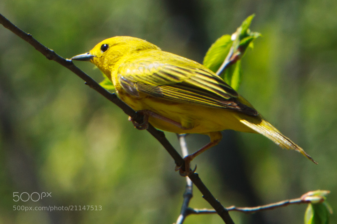 Photograph Yellow warbler by Anuj  Raj on 500px