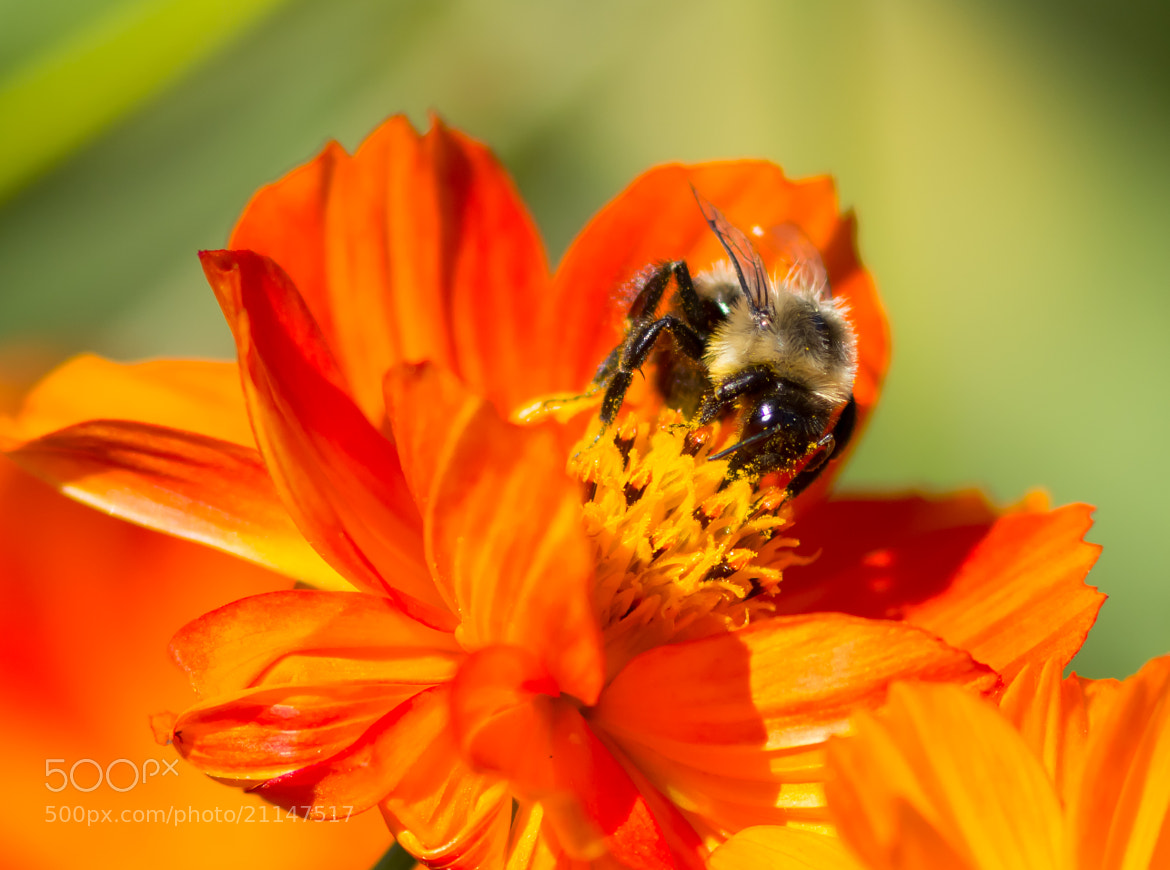 Photograph Bee visiting by Anuj  Raj on 500px