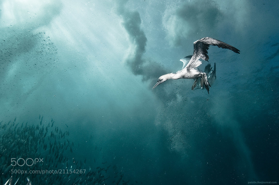 Photograph plunge diver by Alexander Safonov on 500px