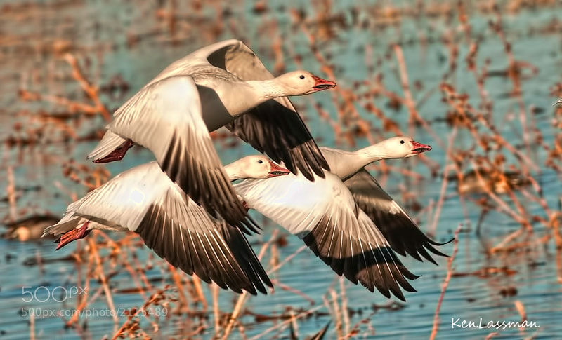 Snow Geese after take off at Bosque Del Apache, New Mexico