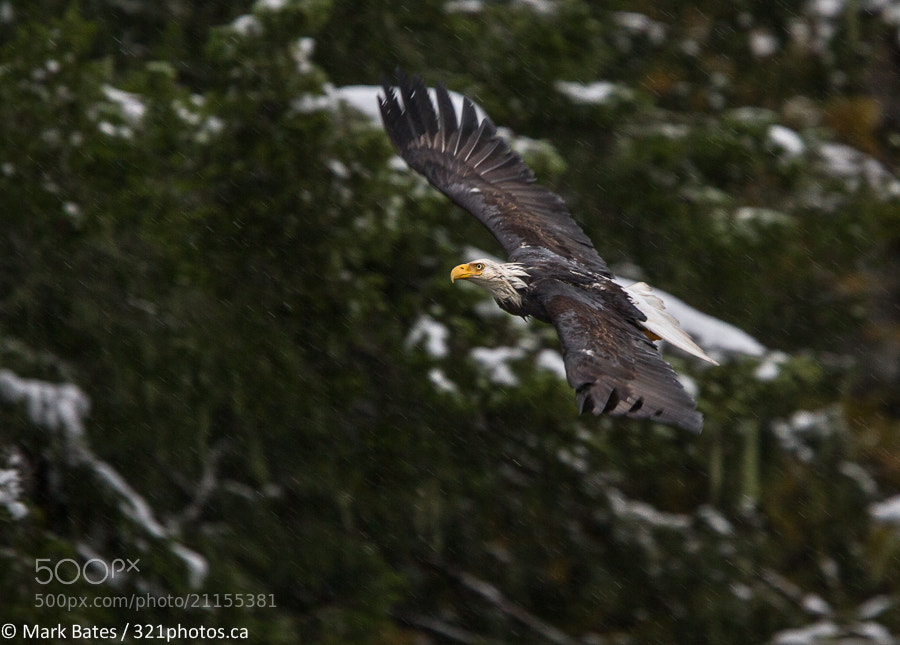 Photograph Eagle in Snow by Mark Bates on 500px