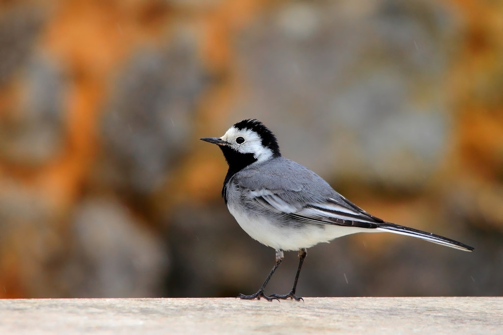 Photograph wagtail by wise photographie on 500px