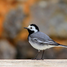 wagtail by wise photographie (wise-photographie)) on 500px.com