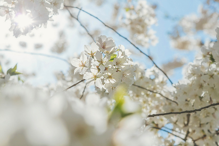 White Blossoms by Nora AlHelal on 500px.com