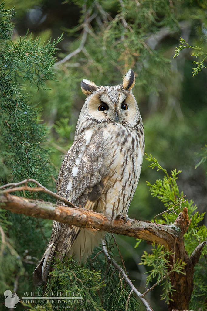 Photograph Long-eared Owl by Will Nicholls on 500px