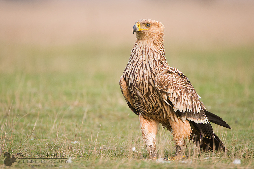 Photograph Eastern Imperial Eagle by Will Nicholls on 500px