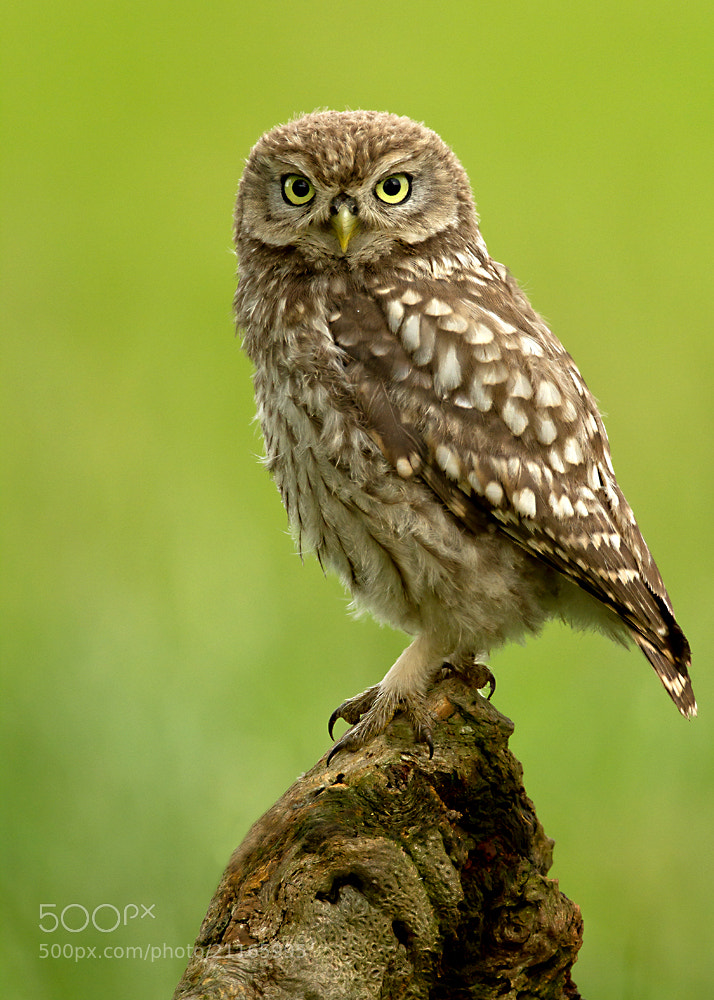 Photograph Little Owl by Giedrius Stakauskas on 500px