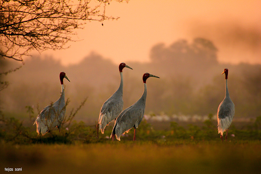 "Photograph ""Morning Raga ""sarus crane by Tejas Soni on 500px"