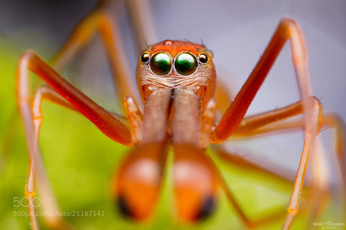 Photograph Red Ant Spider by RealNoi Chunhavareekul on 500px