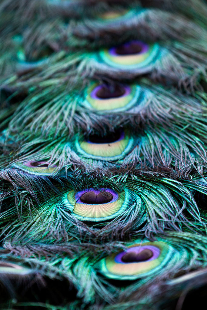 Photograph Peacock Feathers by Timothy West on 500px