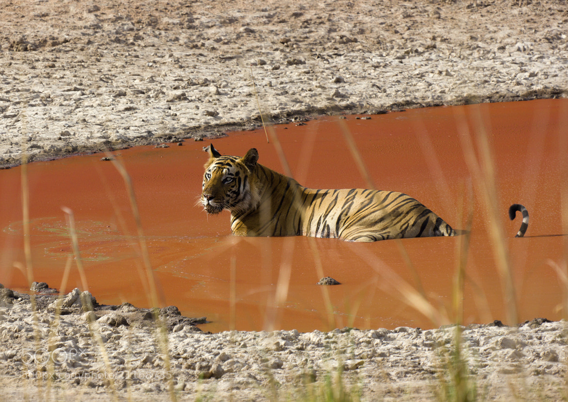 Photograph Tiger in Bandhavgarh National Park by Patrick Ambrose on 500px