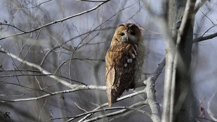 BOOF means Owl in Persian language (Sound Like food, like tool)