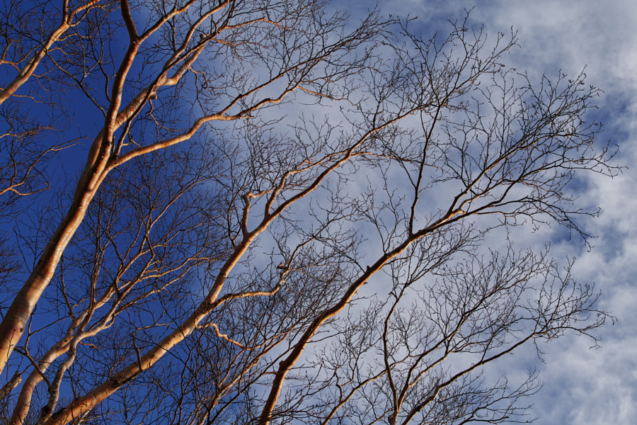 500px.comのfotois youさんによるJapanese white birch - Fukushima - Japan