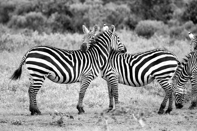 Photograph Hugging Zebras by Timothy West on 500px