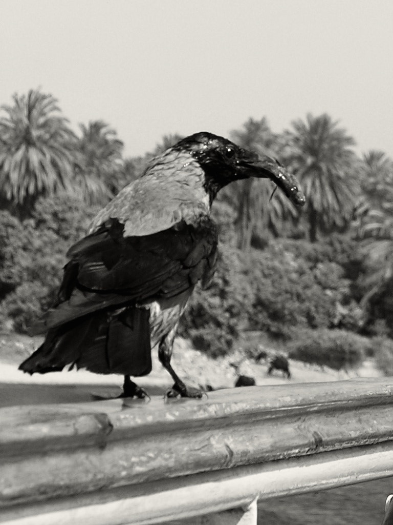 Photograph Crow by Enzo Marzoli on 500px
