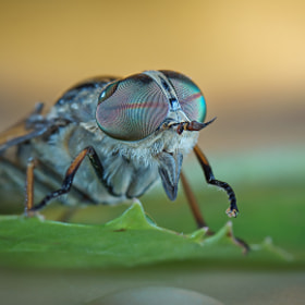 pale giant horse-fly