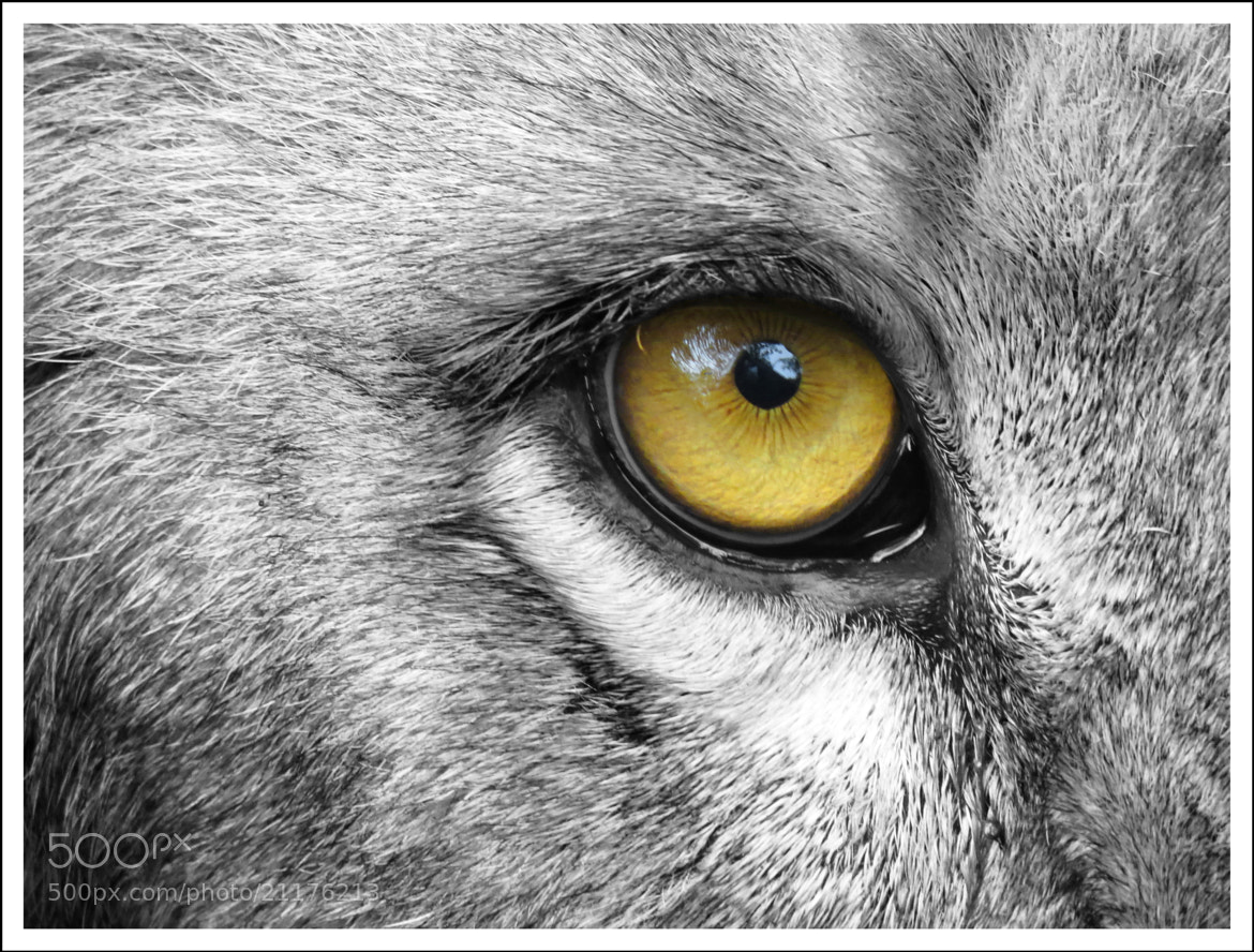 Photograph Eye of the lion by Sinu Nair on 500px