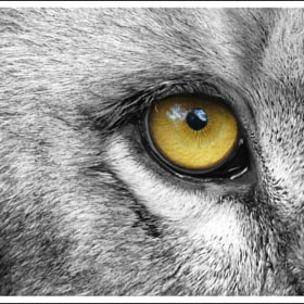 Eye of the lion by Sinu Nair on 500px.com