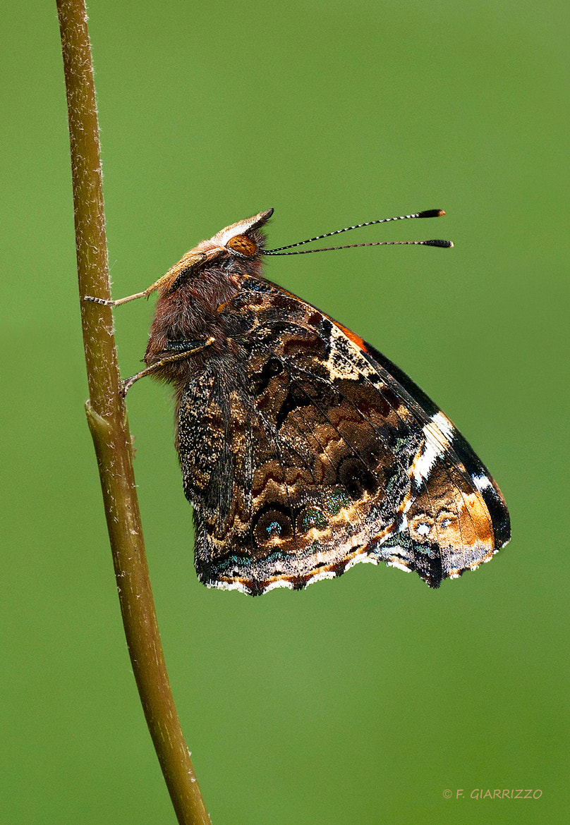 Photograph Red Admiral by Fabio Giarrizzo on 500px
