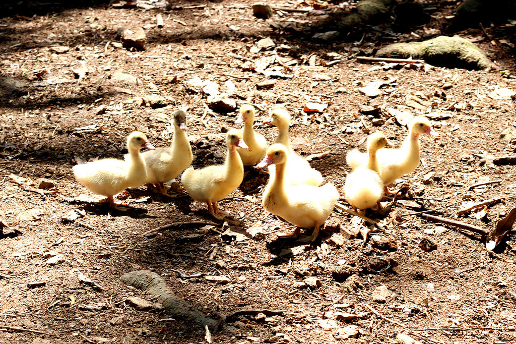 Photograph Baby Ducks by Ricardo Würges on 500px