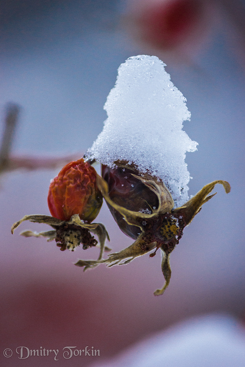 Photograph Winter Wild Rose by Dmitry Torkin on 500px