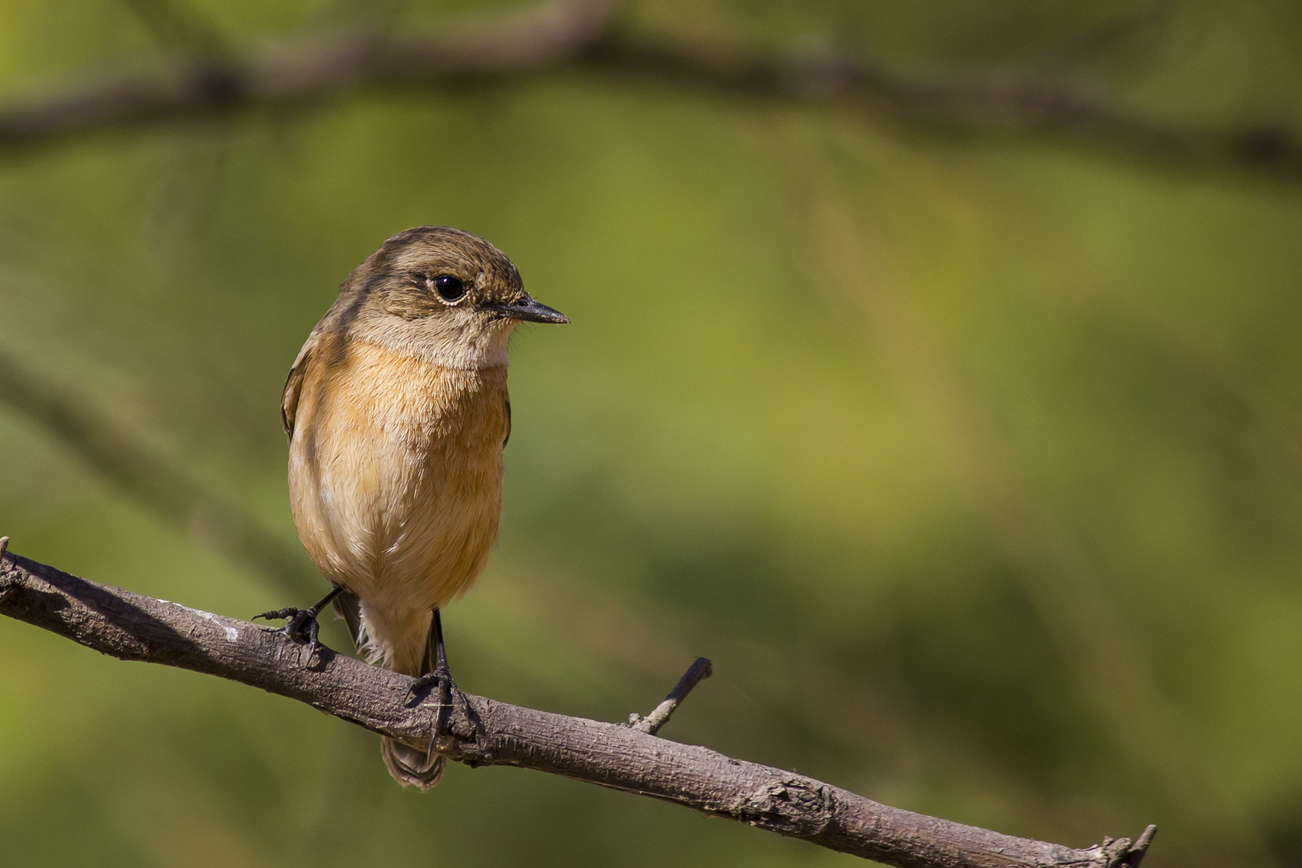 Photograph Common Stonechat by Akshay Khare on 500px