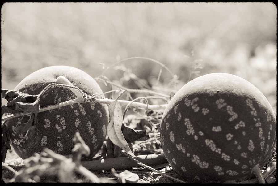 Pie Melons by Paul Amyes on 500px.com