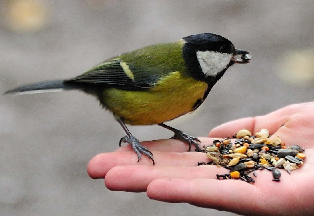 Photograph Great Tit on Hand by PerfectStills Martin on 500px