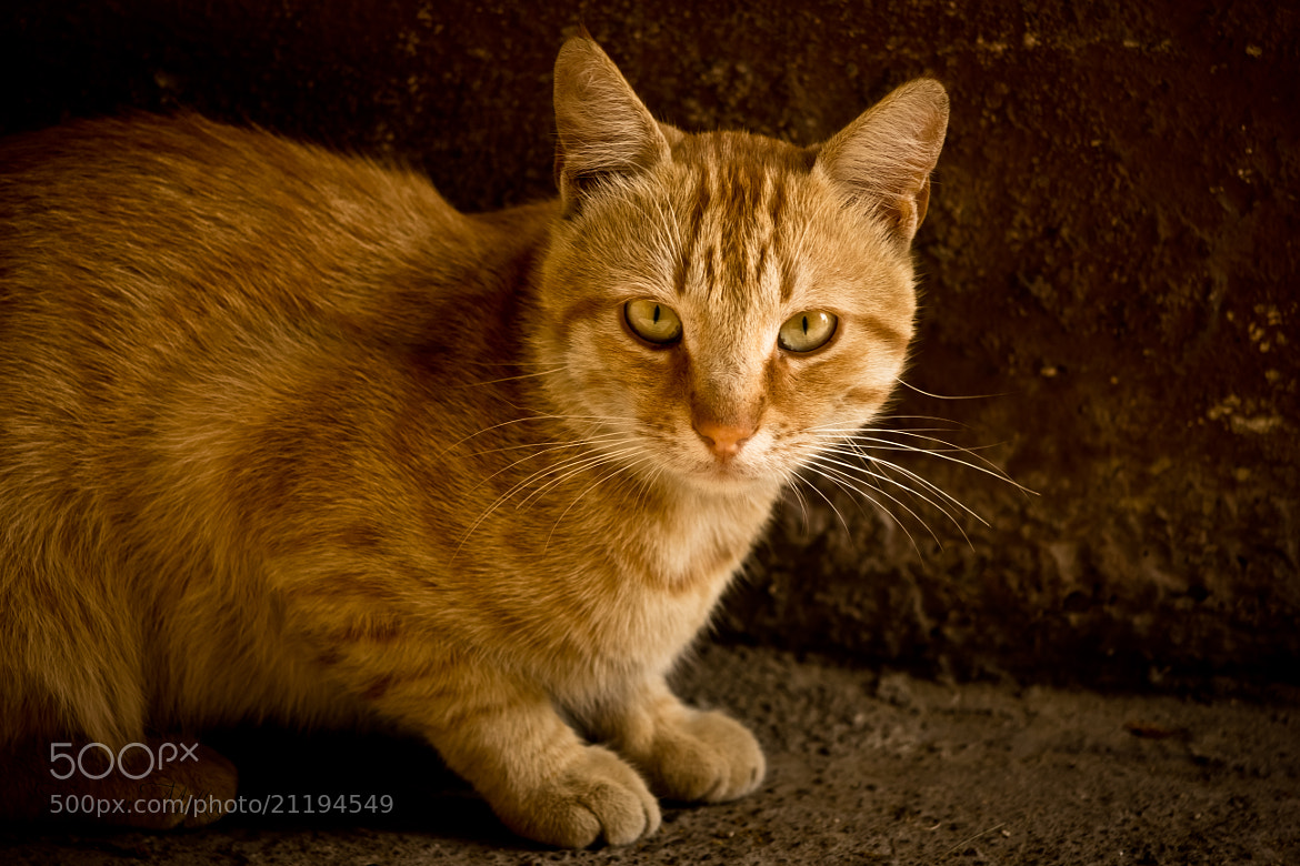 Photograph cat portrait by Kazımcan Malkoç on 500px
