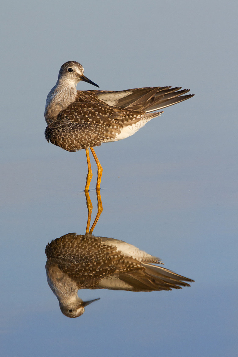 Photograph Lesser Yellowlegs Reflection. by Daniel Cadieux on 500px