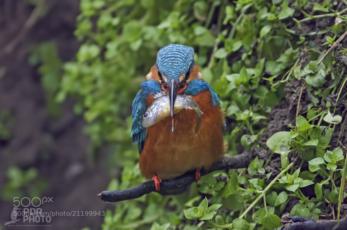 Photograph King Fisher - Gnam by PdR Photo on 500px