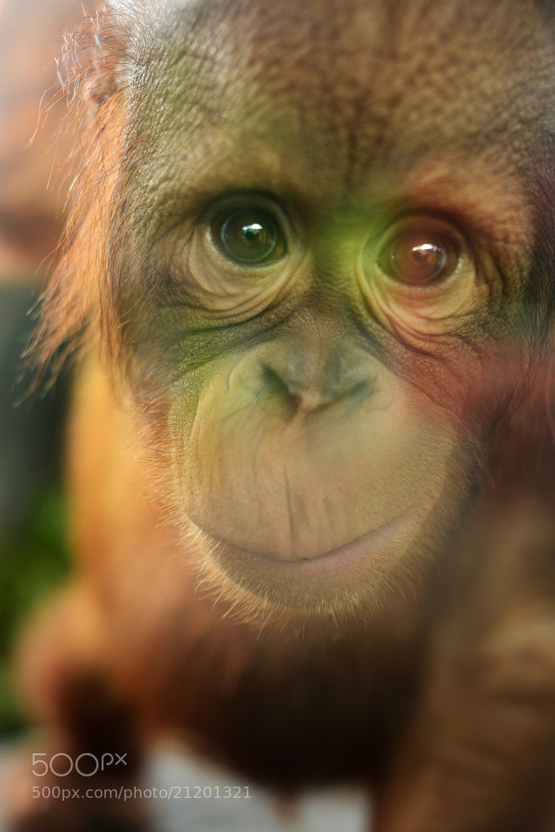 Photograph Hiroshi, the Orang utan by Fred Melot on 500px