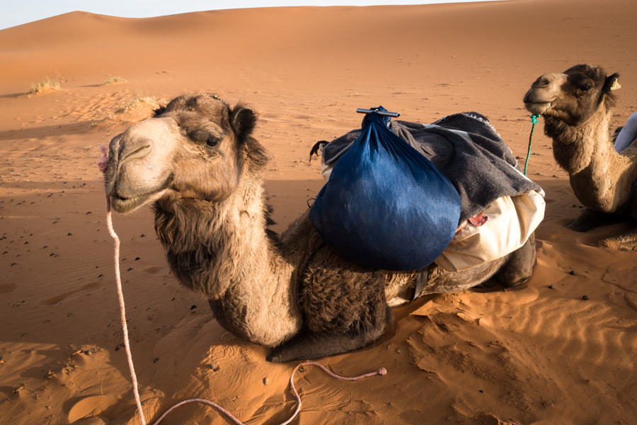 Camel relaxing in the desert by vielgefiel on 500px.com