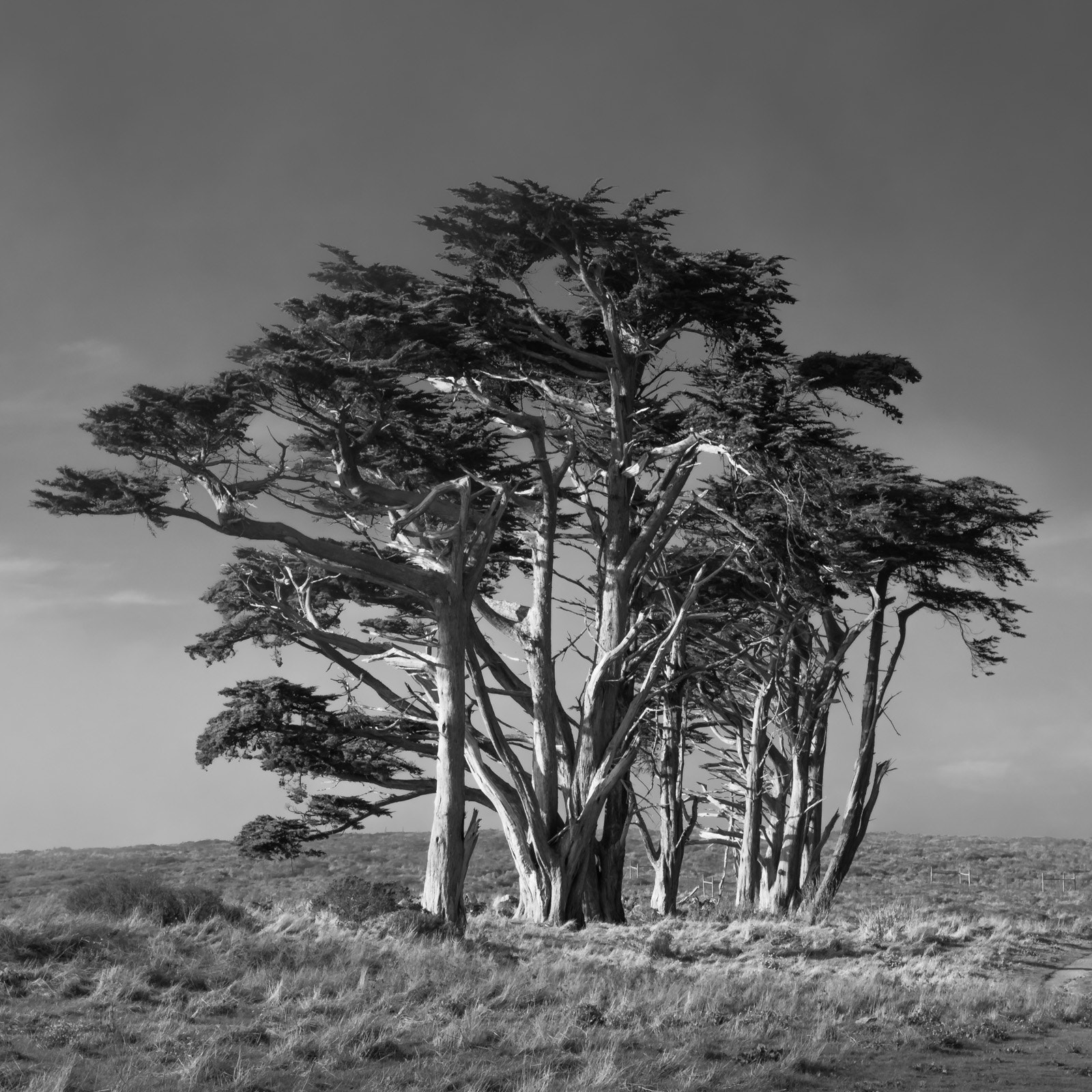Photograph Cypress in Point Reyes by Rich Shelton on 500px