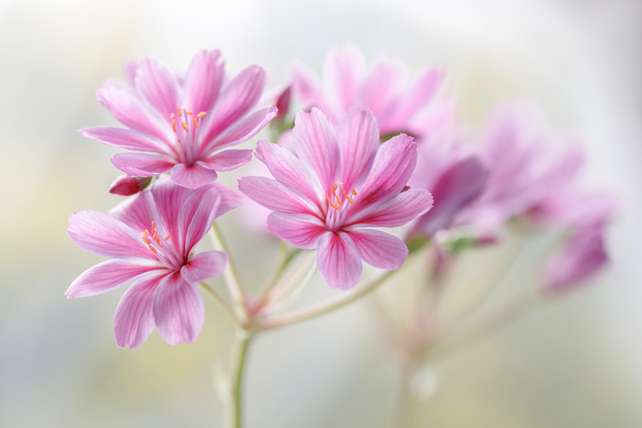 Lewisia by Mandy Disher on 500px.com