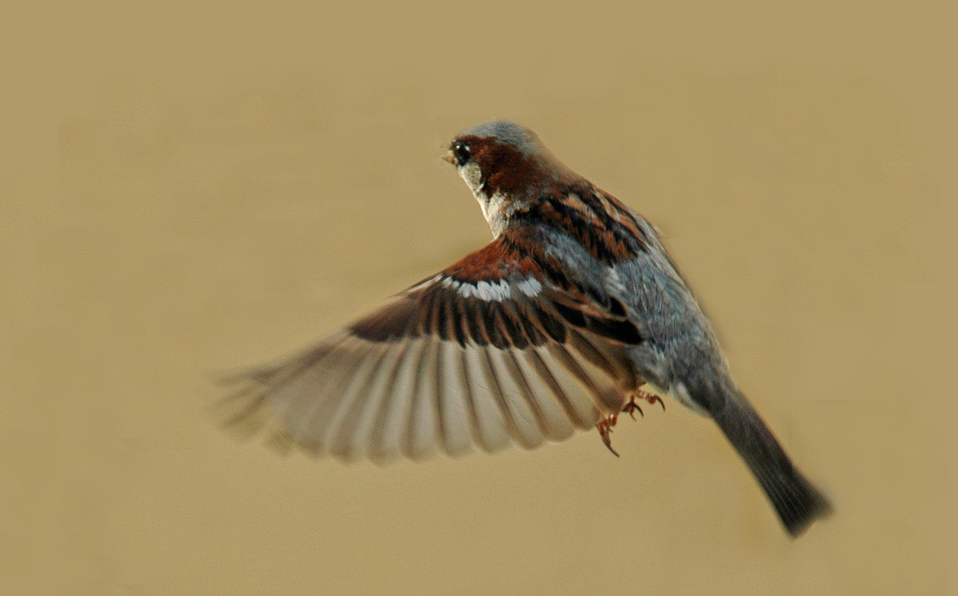 Photograph House Sparrow in flight by Bob Bleijerveld on 500px