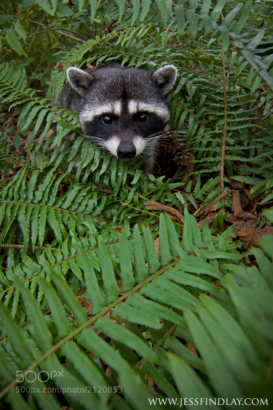 Photograph Curious Raccoon by Jess Findlay on 500px