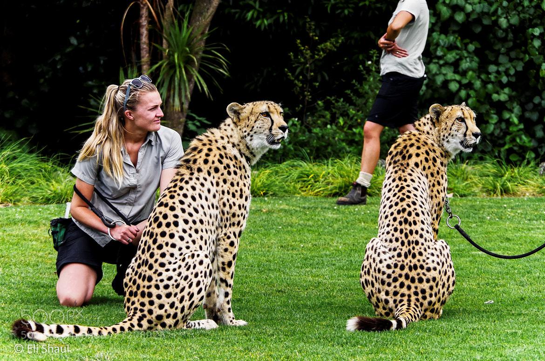 Photograph Cheetahs by Eli Shaul on 500px
