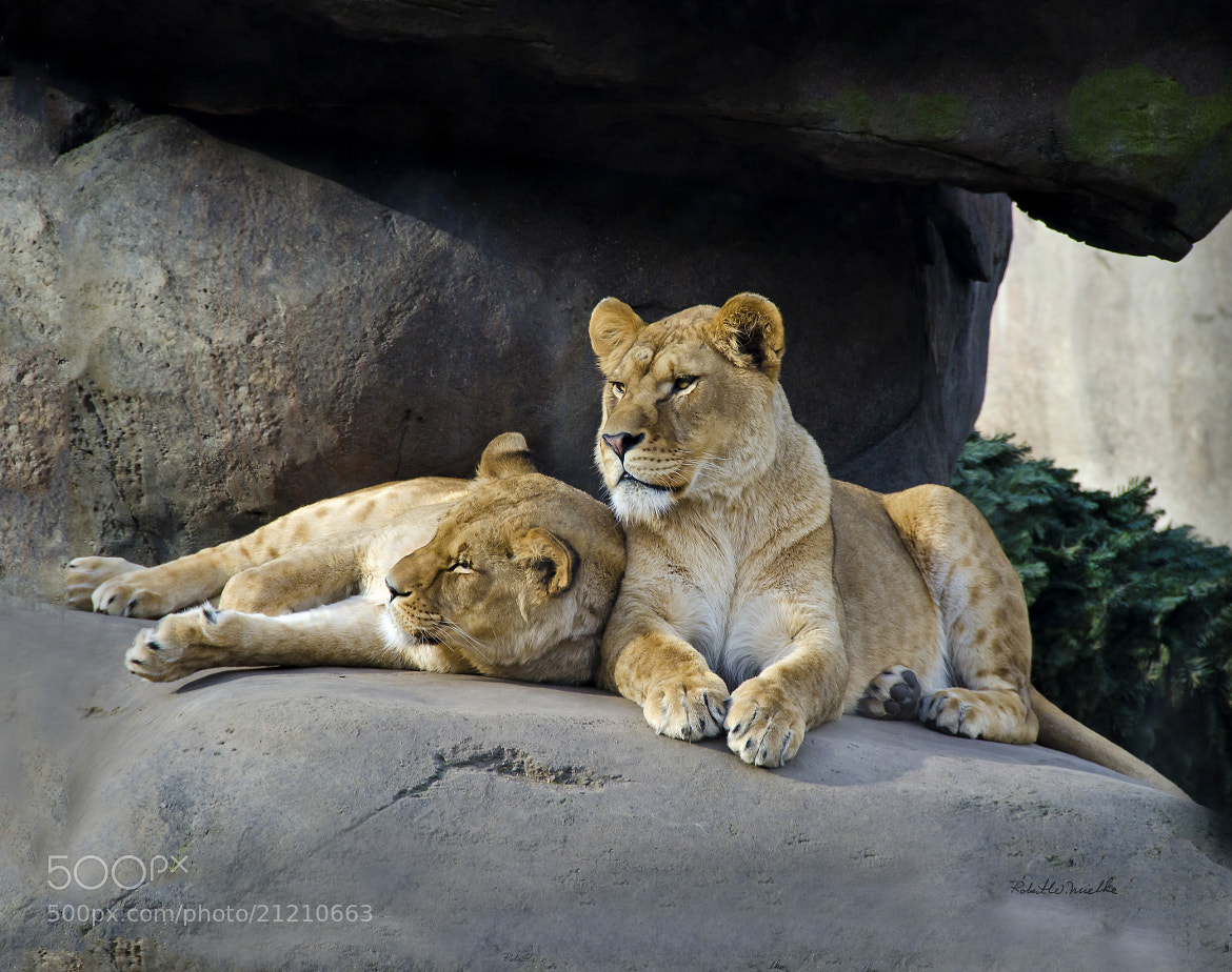 Photograph Kitty Queens by Robert Mielke on 500px