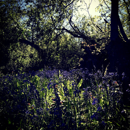 Bluebells in shadow.