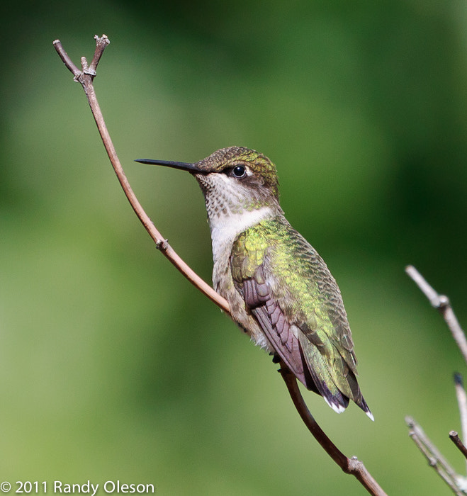 Photograph Hummingbird at rest by Randy Oleson on 500px