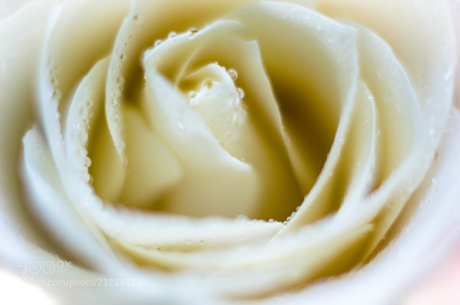 Photograph White Rose by Heart Disk on 500px