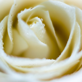 White Rose by Heart Disk (RainNie)) on 500px.com